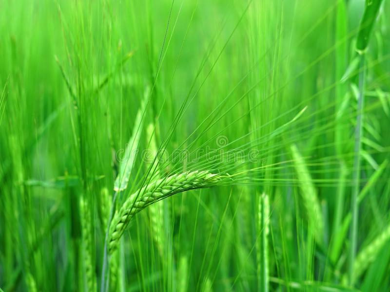 Grass, Barley, Vegetation, Field stock image
