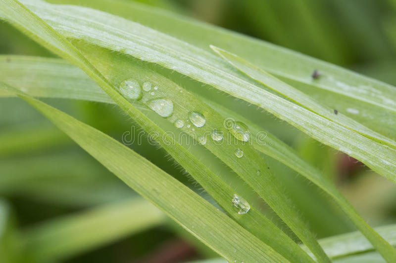 Grass Blade With Water Drops In Close Up Stock Image Image of