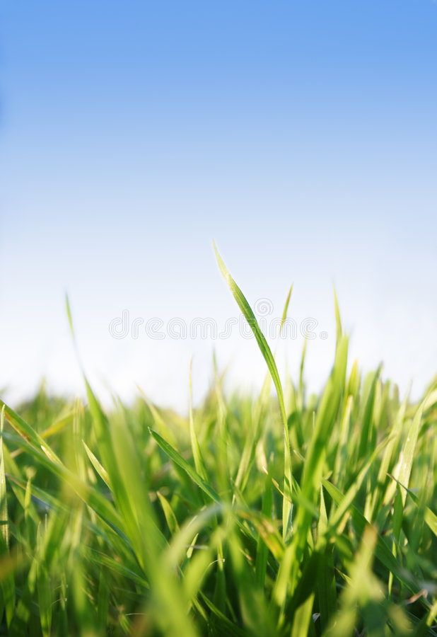 Grass,blue sky. Green grass against blue sky