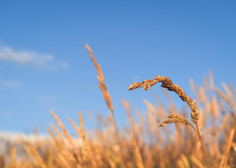Grass on a Blue Summer Day. Yellow wheat grass on a cloudless blue day in summertime royalty free stock photos