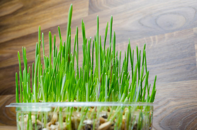 Grass for cat and dog. Fresh green grass for cat and dog royalty free stock images