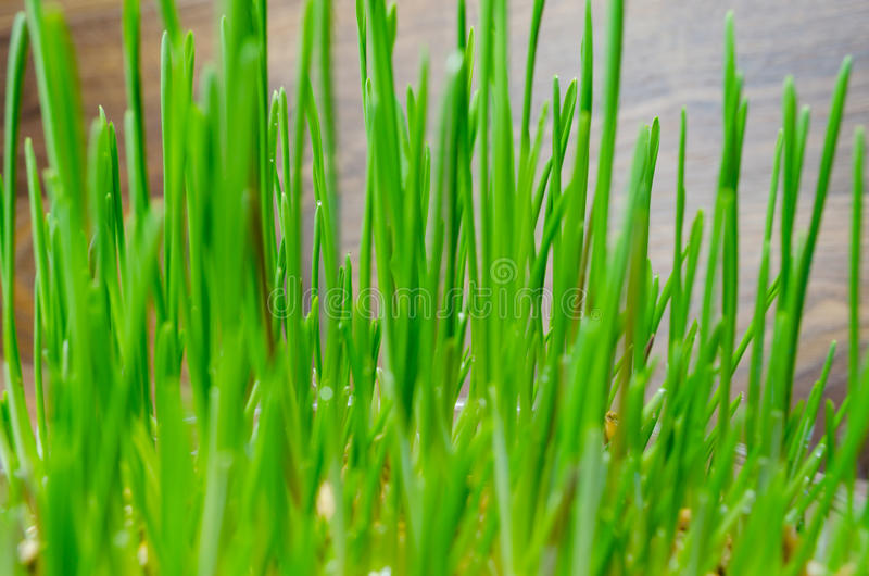 Grass for cat and dog. Fresh green grass for cat and dog stock images