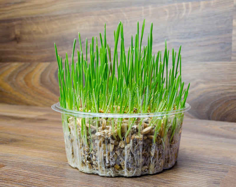 Grass for cat and dog. Fresh green grass for cat and dog royalty free stock photo