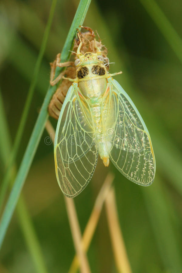 Grass cicada royalty free stock photos