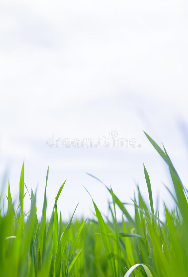 Download Grass Close-up. Stock Photo - Image: 41829067