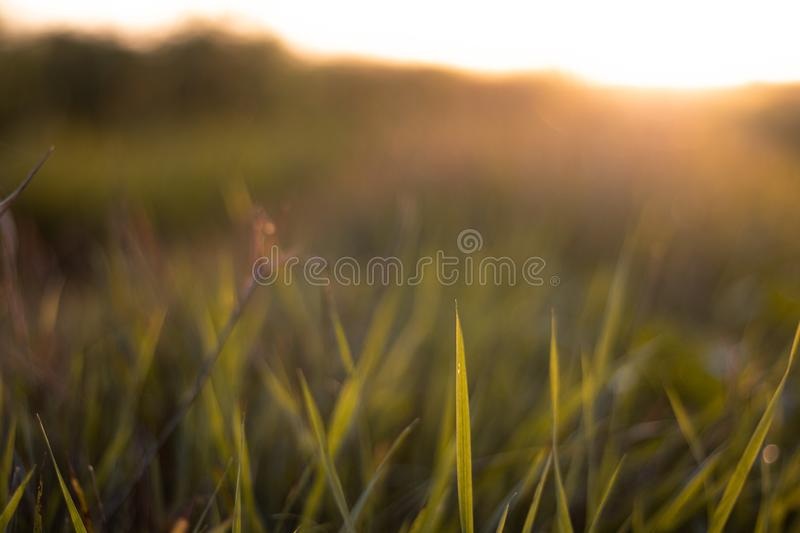 Grass closeup during sunset golden hour. Grass closeup in the evening sunset. Golden hour capture stock images
