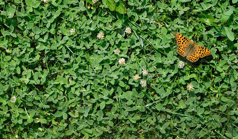 Grass clover texture background.  butterfly Queen of Spain fritillary sitting on a clover lawn stock image