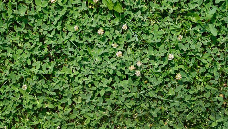 Grass clover texture background. royalty free stock images