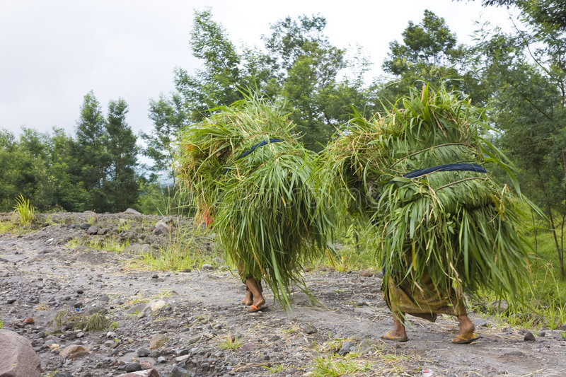 Grass Collecting at Mount Merapi, Indonesia. Image of womenfolk transporting grass collected from the upper reaches of the volcano, Mount Merapi, Yogyakarta royalty free stock photos