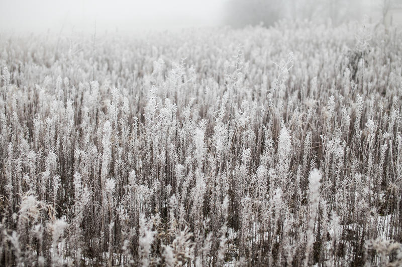 Grass covered with hoarfrost. On a foggy winter day royalty free stock photography