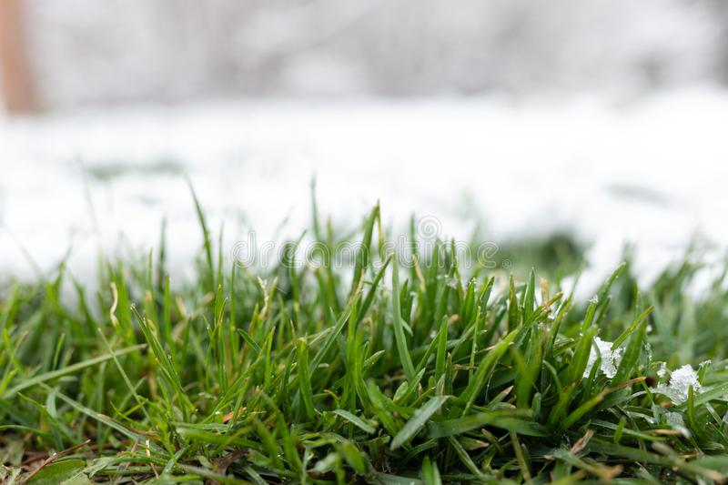Grass covered with snow. fresh young green grass makes its way out from under the snow. White and green background. royalty free stock image