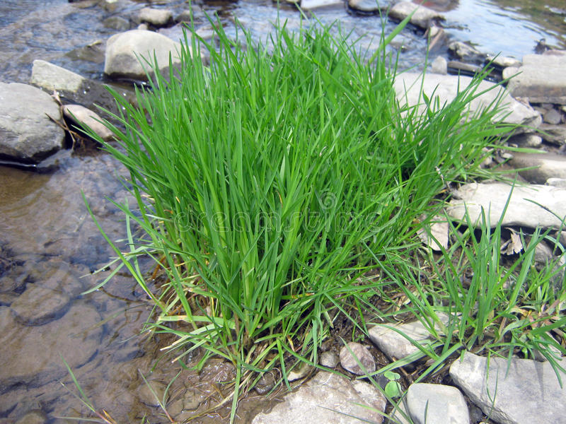 Grass At Creek Bed Stock Photo