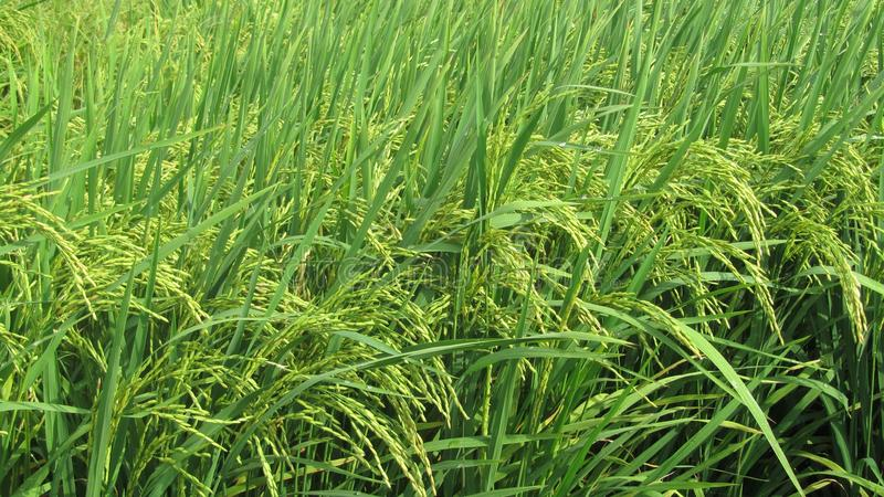 Grass, Crop, Agriculture, Grass Family Free Public Domain Cc0 Image