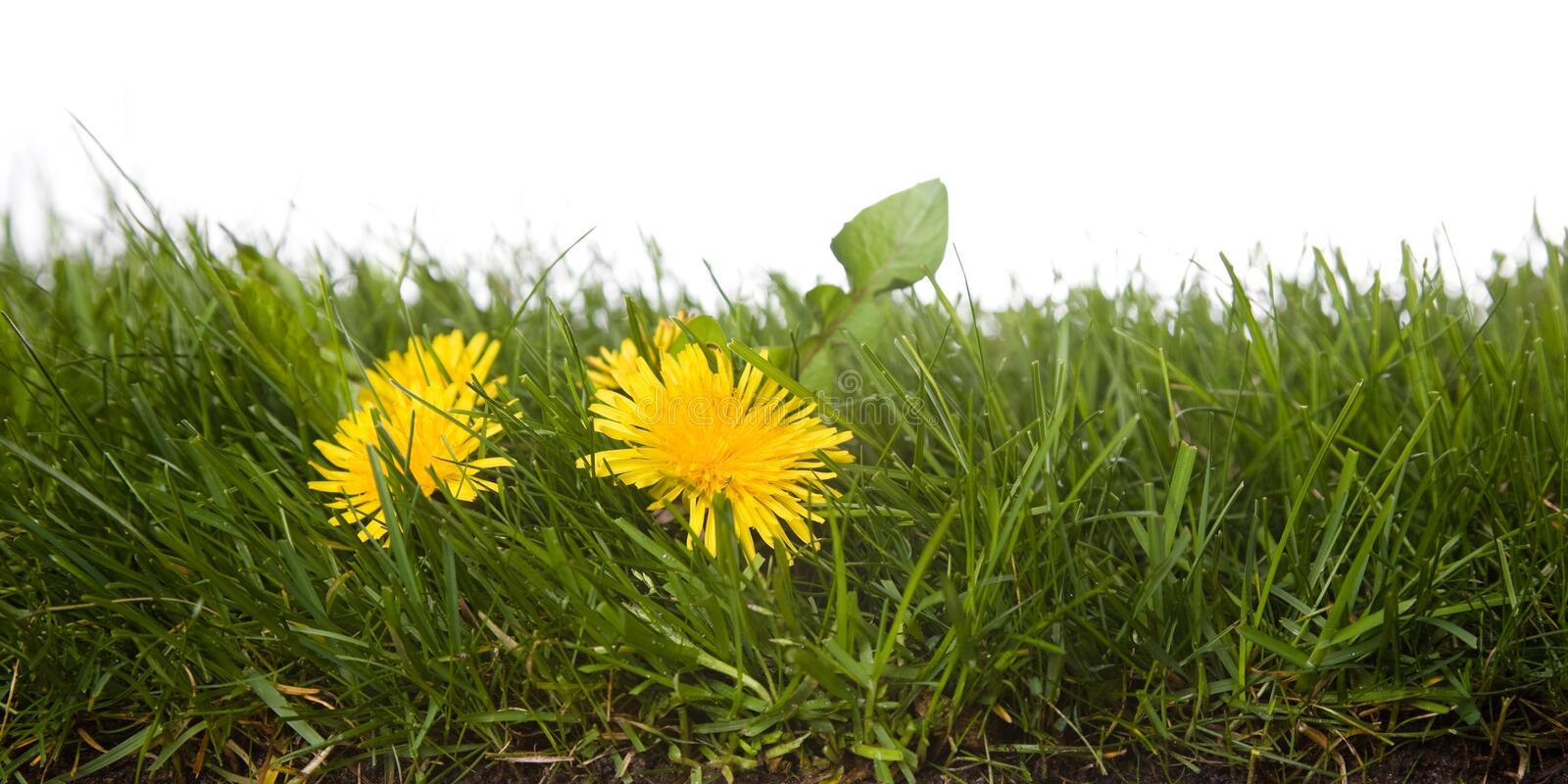 Grass with dandelion royalty free stock image