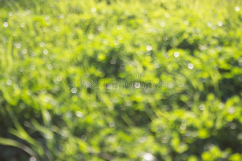 Grass defocused background. Green grass defocused background. beautiful summer day royalty free stock images
