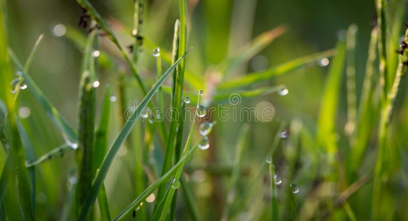 Grass With Dew Drops during Daytime royalty free stock photo