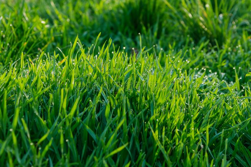 Grass with dew pattern. Morning stock photography