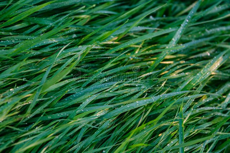 Grass with dew pattern. Morning royalty free stock photo