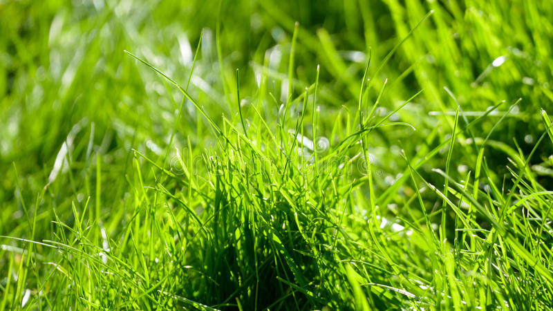 Grass with dew royalty free stock images