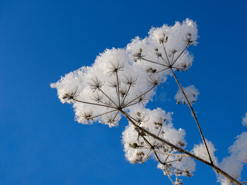 Grass dressed in the snow overcoat royalty free stock images