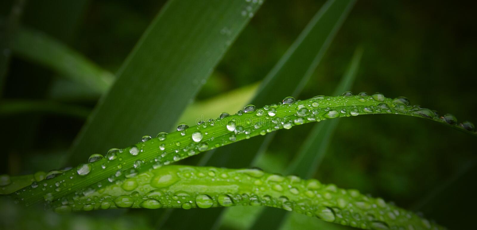 Grass drops. Abstract green nature floral background / backdrop representing a pattern with rain or water drops (dew) on green grass / plant closeup. Can be used royalty free stock photos
