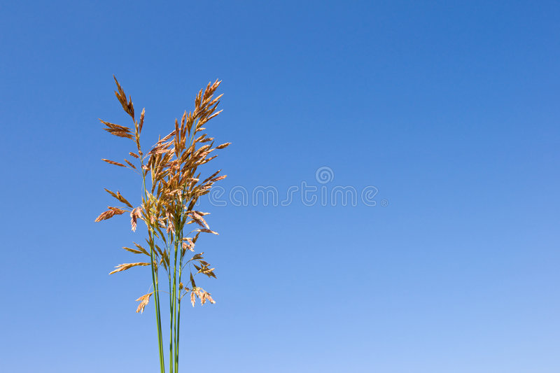 Download Grass ear stock image. Image of green, cornfield, golden - 6942075