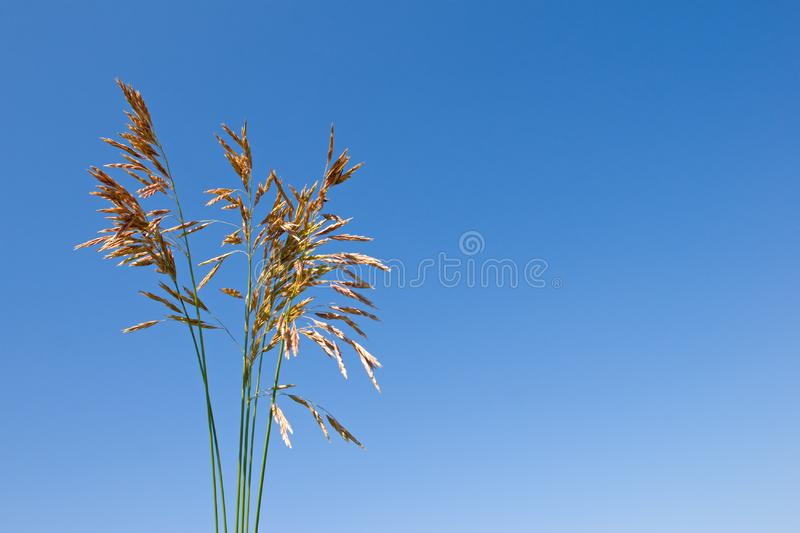 Download Grass ear stock photo. Image of summer, straw, crop, yellow - 8381766