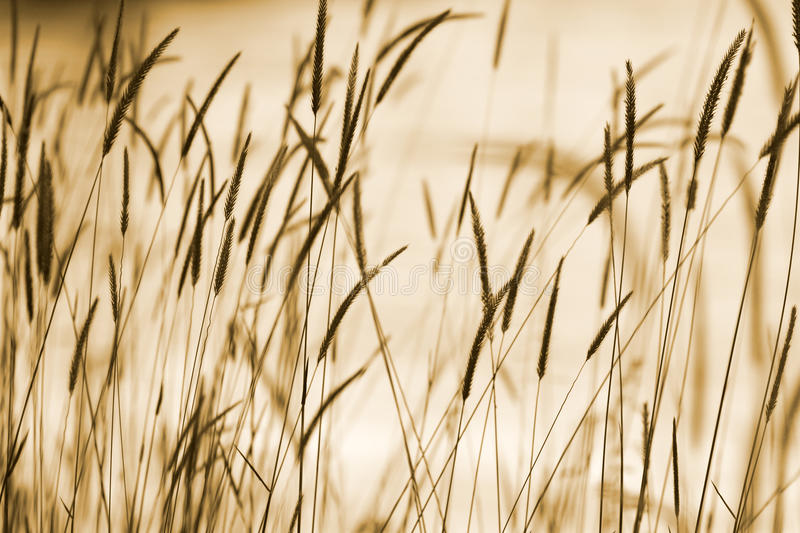 Grass Ear Background Royalty Free Stock Photos