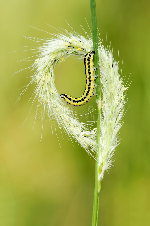 Grass ear and caterpillar royalty free stock photo