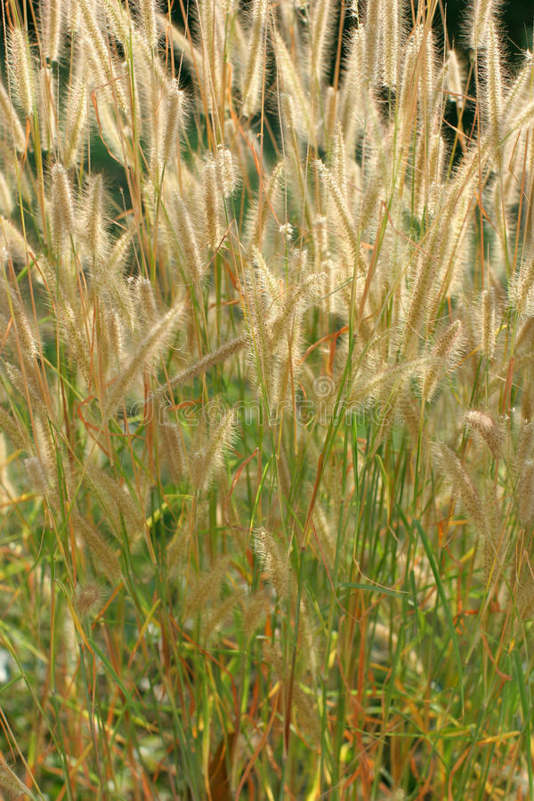Grass Ears Royalty Free Stock Images