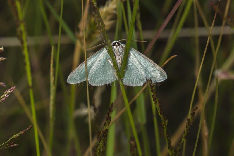 Grass emerald Pseudoterpna pruinata. A grass emerald is sitting on a grass-stock stock images