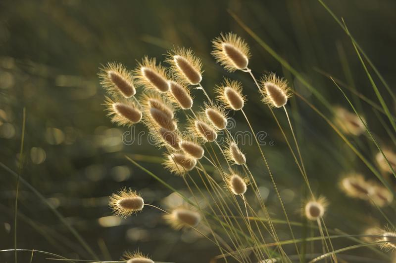 Grass Family, Close Up, Sunlight, Grass royalty free stock photos