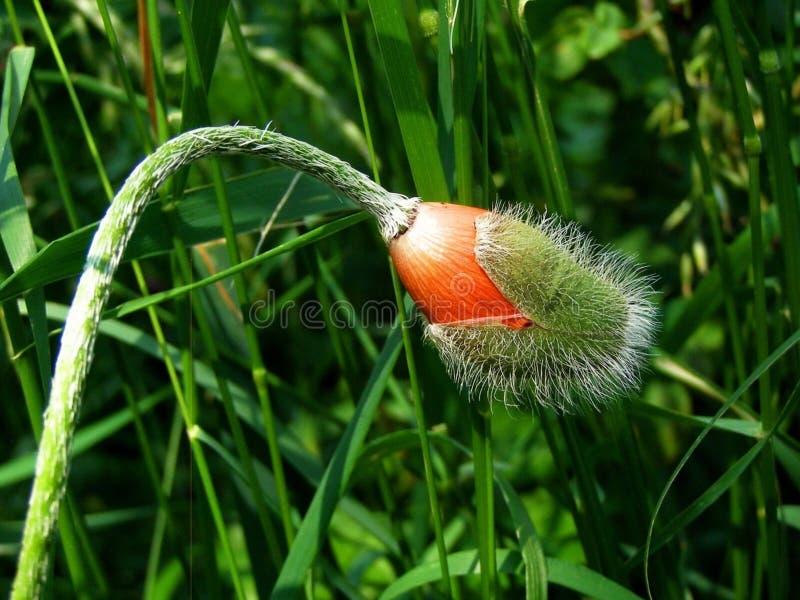 Grass Family, Plant, Grass, Flower stock photo