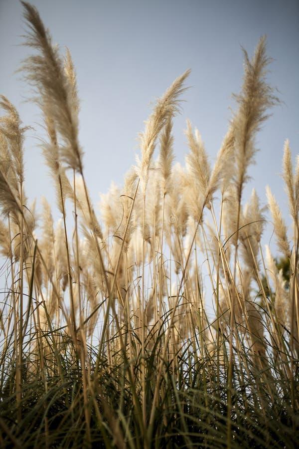 Grass Family, Sky, Phragmites, Grass stock photos