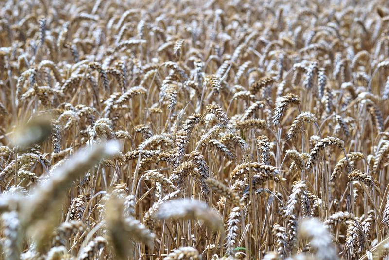 Grass Family, Wheat, Food Grain, Grain Free Public Domain Cc0 Image