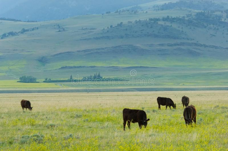 Grass-fed livestock royalty free stock photography