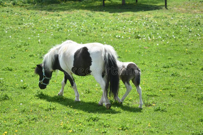 Black and White Miniature Mare with Her Foal in a Field stock photography