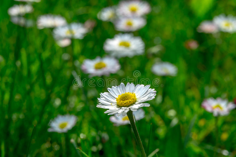 Grass field full of herbs and wild flowers stock photography