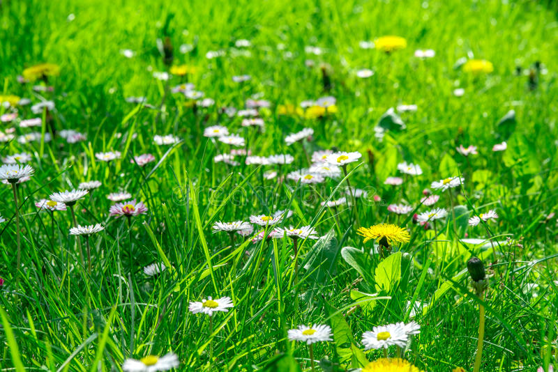 Grass field full of herbs and wild flowers royalty free stock images