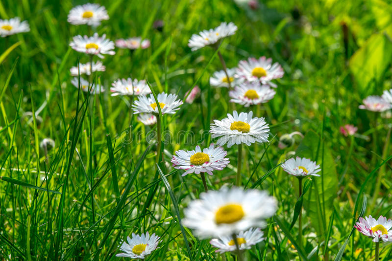 Grass field full of herbs and wild flowers stock image