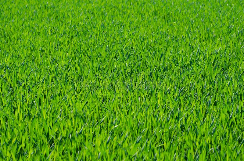 Grass, Field, Grassland, Grass Family royalty free stock images