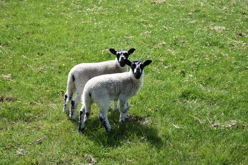 Grass Field with a Pair of Lambs with Black and White Face royalty free stock images