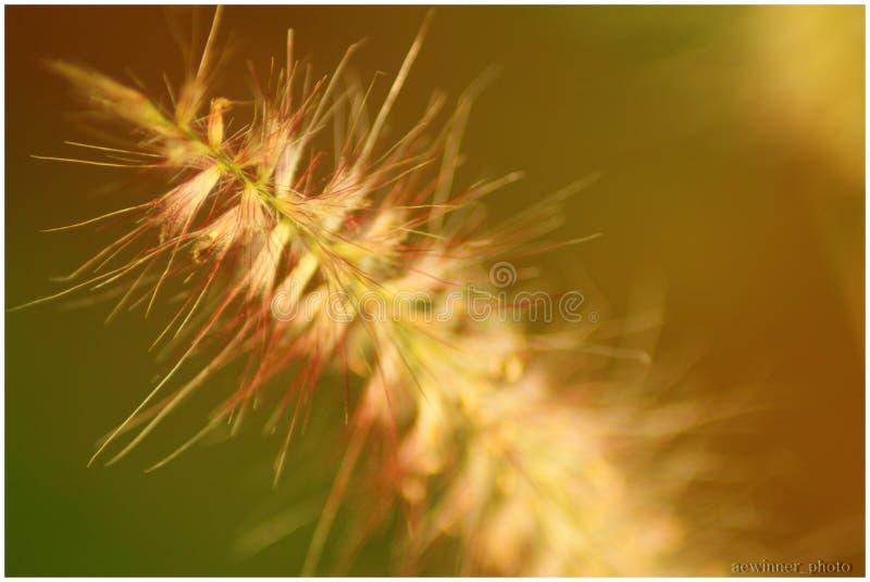 Grass flower royalty free stock photo