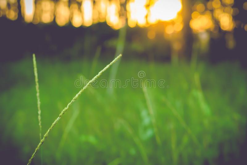 Grass flower blooming  spring  nature  background royalty free stock photos