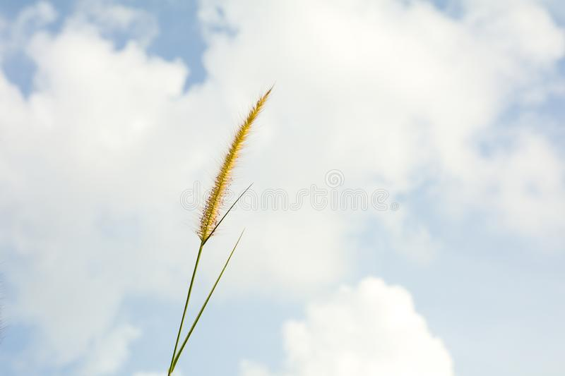 Grass flower and the blue sky in summer.  background royalty free stock photo