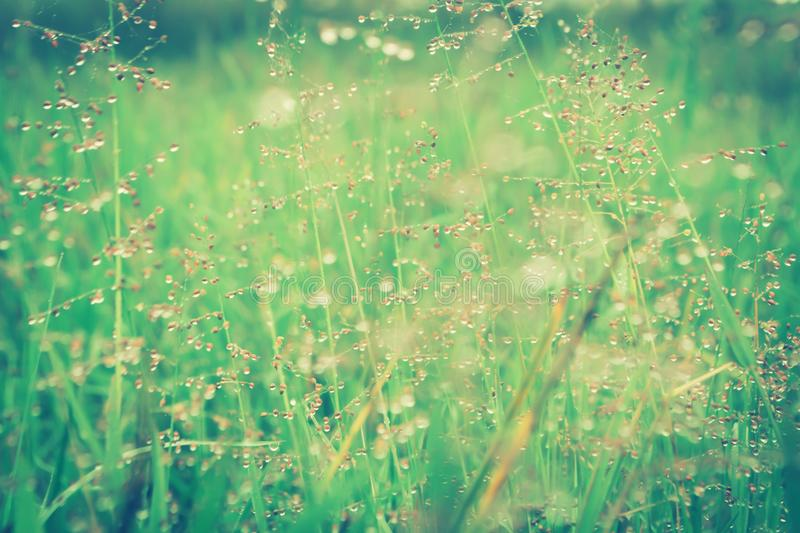 Grass flower with dew drops after rain fresh nature background. Grass flower with dew drops after rain fresh nature in sunrise summer,sprimg background royalty free stock image