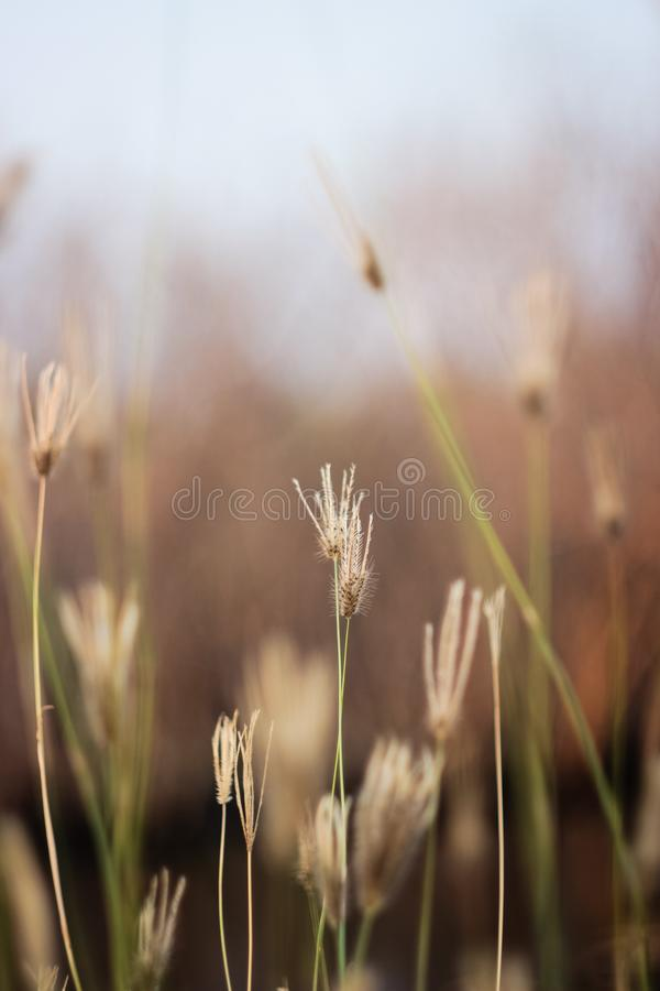 Grass flower in the grass field on brown background stock image