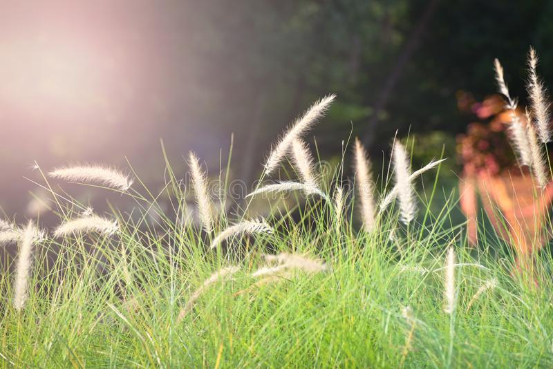 Light and grass flower or meadow. Grass flower or meadow in the field stock photo