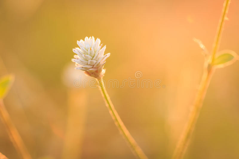 Grass flower. In the morning royalty free stock image