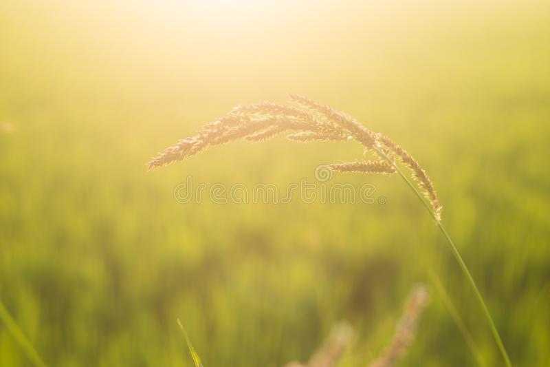 Grass flower with morning sun. Beautiful background sunrise royalty free stock images